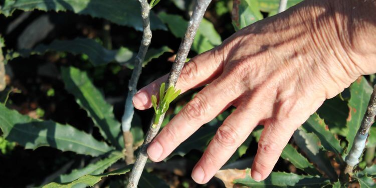 The nuts and bolts of sustainable macadamia farming in South Africa